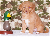 NSDTR Toller Puppy Girl White - 7 weeks old
