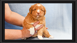 NSDTR Toller Puppy Pink week 4