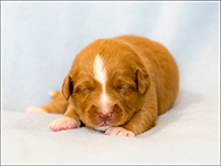NSDTR Toller Puppy Red wk2