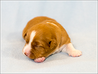 NSDTR Toller Puppy Yellow wk2
