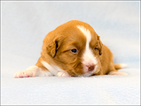 NSDTR Toller Puppy Yellow week 3