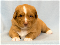 NSDTR Toller Puppy Red week 4