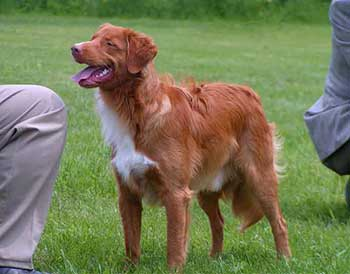 nova scotia duck tolling retriever breeders