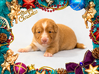 NSDTR Toller Puppy Pink week 3