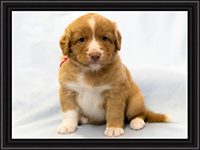 NSDTR Toller Puppy Pink week 5